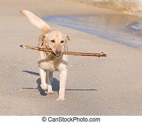 labrador, retriever, cão, tocando, praia