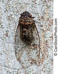 cicada.