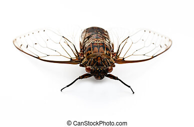cicada insect.