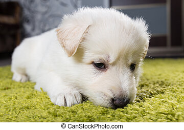 Baby swiss shepherd laying on green carpet