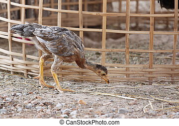 Chickens are foraging Beside Coop. - Chickens are foraging...