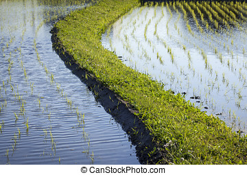 Flooded Rice Paddy Seedlings