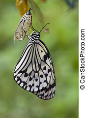 Idea leuconoe, Paper Kite Butterfly - Idea leuconoe, also...