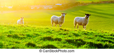Sheep Grazing at Sunset - Sheep grazing at sunset in a field...