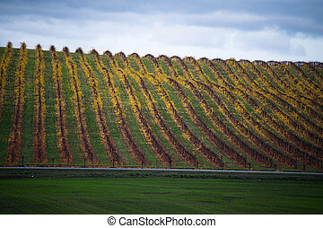 Yellow autumn vineyard beneath cloudy sky - Vineyard in...
