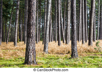 Tree Trunks - Pine tree trunks in Thetford Forest in East...