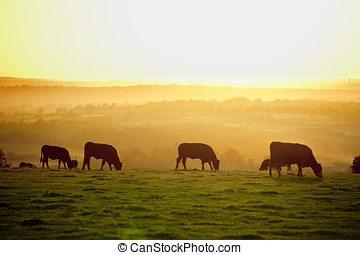 Cattle at sunset - Backlit cattle grazing in a field at...