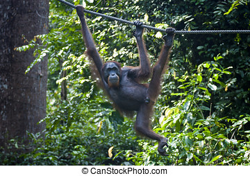 Orangutan hangs from Rope - Orangutan hanging from a rope...