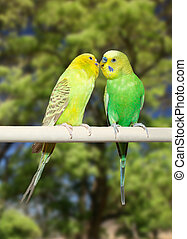 Couple of parrots - Couple of yellow and green parrots on...