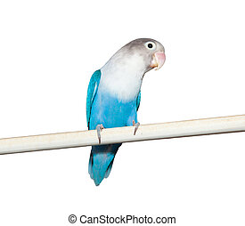 Lovebird (Agapornis roseicollis blue morph) on the white...