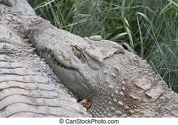 el, cocodrilo