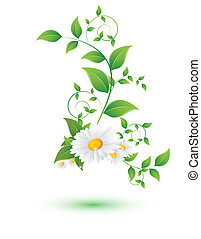 chamomile flower and green leaves