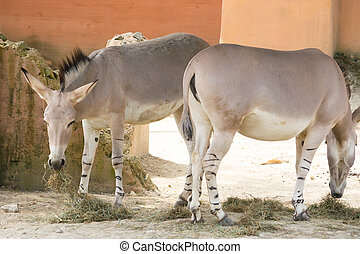 Two donkeys grazing grass in an abandoned yard - The donkey...