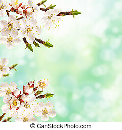 Spring apricot - Beautiful spring blossoming apricot tree...