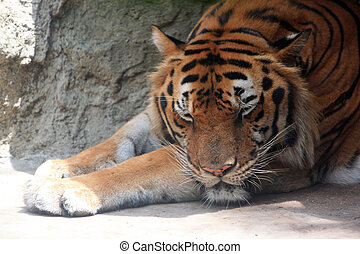 Big Bengal tiger - The big Bengal tiger it sleeping beside...