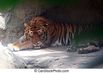 Big Bengal tiger. - The big Bengal tiger it sleeping beside...