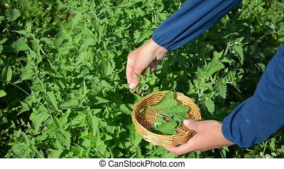 herbalist lemon-balm leaf - herbalist woman girl hand pick...
