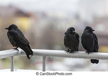 three wet crows sitting on balcony rail - three wet crows...