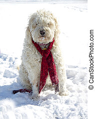 Shaggy Dog in Snow - Shaggy dog sitting in snow wearing red...