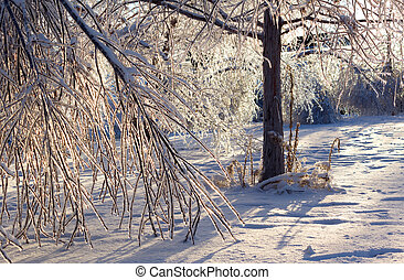 Damaged trees after an extreme ice storm - Ice coated trees...