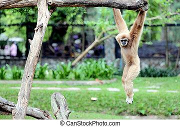 mono, trapecio, diversión