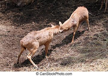 wild deer were fighting to wrest area. - wild deer were...