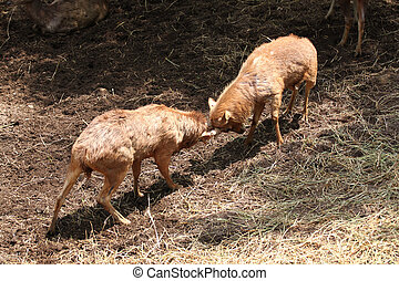 wild deer were fighting to wrest area. - wild deer were...