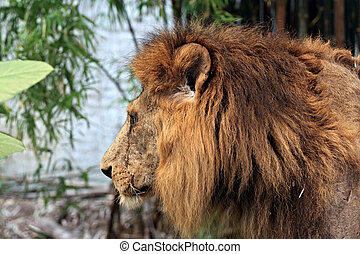 The old lion. - Side of old lion looking for food in the...