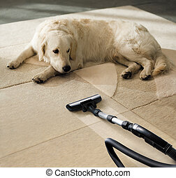 carpet dog - the dog lies on the beige carpet and looks at...