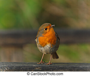 Robin perched on a garden bench