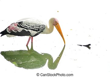 Portrait of a Milky Stork - A close up portrait of a milky...