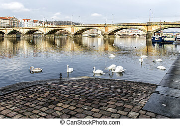 swans swimming on the river