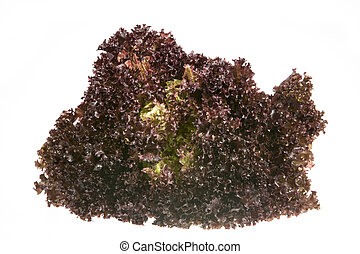 Batavia Lettuce - Isolated fresh lollo rosso batavia lettuce...