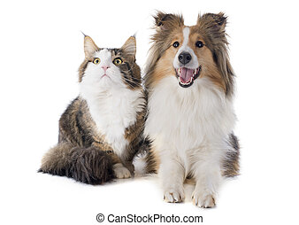 shetland dog and maine coon cat - portrait of a purebred...