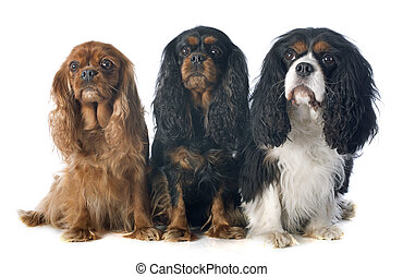 three cavalier king charles - cavalier king charles in front...