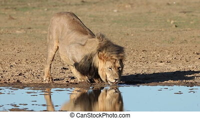 African lion drinking - Big male African lion Panthera leo...