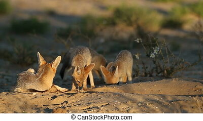 Cape fox family - Cape foxes Vulpes chama at their den in...