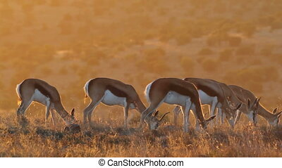Grazing springbok antelopes - Springbok antelopes Antidorcas...