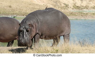 Hippopotamus - Hippo (Hippopotamus amphibius) outside the...