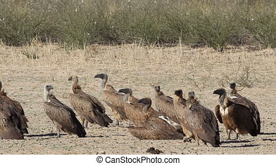 White-backed vultures Gyps africanus sitting on the ground,...