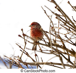 Finch After Snowstorm - Finch is perched on branches after...