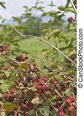 Bountiful Bush of Blackberries - Bountiful bush of...