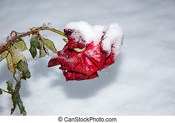 First snow and red rose, 05102013, city of Orenburg,...