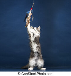 Young Kitten Cat playing with Feather Toy
