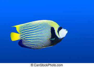 Angelfish - a beautiful emperor angelfish swimming in blue...