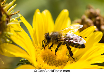 Honey Bee on Flower - Honey Bee, Apis mellifera on Calendula