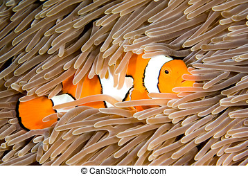 Clownfish - a clown anemonefish takes shelter among the...