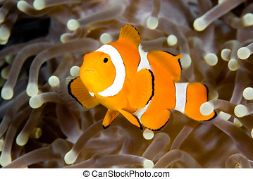 Clownfish - a clown anemonefish swimming in the tentacles of...