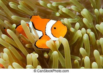 Clown Anemonefish - a clown anemonefish swimming in its...