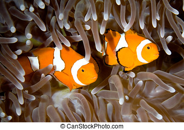 Two Clownfish - two clown anemonefish swimming in the...